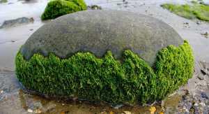 spirlulna kék-zöld alga